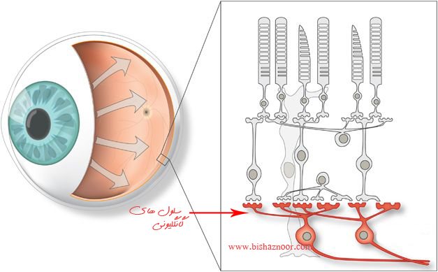سلول های گانگلیونی نورپردازی انسان محور